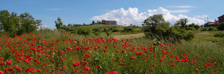 Saint Peter's church with poppies